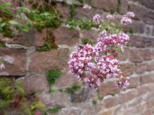 Blühender Dost an der Klostermauer. Foto: B. Bank